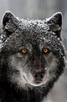 """""""This captive timber wolf gives me a good look during a rare snow storm.Image captured in North Vancouver, BC."""" by Henrik Nilsson. - """"I'm saddened to note the photographer mentions that the wolf is captive"""" MAD Beautiful Creatures, Animals Beautiful, Cute Animals, Wild Animals, Baby Animals, Tier Wolf, Wolf Love, Beautiful Wolves, Wolf Spirit"""