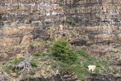 #интересное  Горные козлы (5 фото)   Эти козлы не просто залезли на гору, для них это нормальный образ жизни. Они забираются даже до высот 5,5 тыс. метров над уровнем моря!       далее по ссылке http://playserver.net/?p=94722