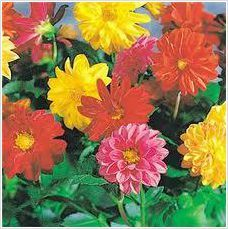 Dahlia Dwarf Double Opera Mix Seeds Perennial