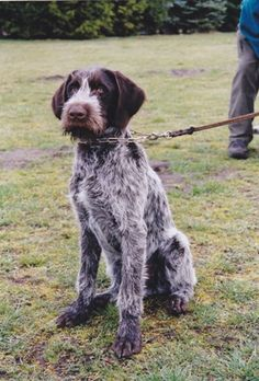 German Shorthaired Pointer This breed will be ours officially in August! Derek is so excited! Pointer Puppies, Dogs And Puppies, Doggies, I Love Dogs, Cute Dogs, Funny Dogs, German Wirehaired Pointer, Terrier, German Shepherd Puppies