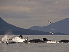 humpback whales - bubble net feeding in Juneau, Alaska -- truly amazing sight!