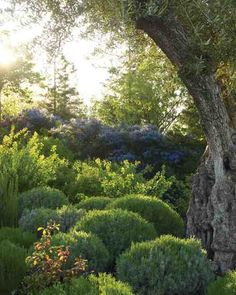Spaces and Structure  In this hilltop Sonoma County garden with Mediterranean-like dry summer heat, shelter is key. Spheres of silvery lavender formalize a naturalistic border of blue California lilacs and other easy-to-care-for plants.