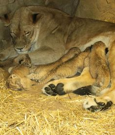 In Omaha's Henry Doorly Zoo, baby lion cubs are shown at the Cat Complex. Here, they are pictured nursing with their mother. Adorable!