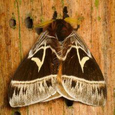 Saturniid Moth, Dirphia sp.