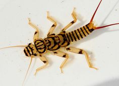Perlid stonefly nymph - a striking aquatic insect.