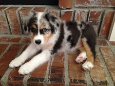 Australian Shepherd Dogs And Kids Mini Australian Shepherds, Aussie Shepherd, Australian Shepherd Puppies, Aussie Puppies, Cute Puppies, Cute Dogs, Dogs And Puppies, Doggies, Blue Merle