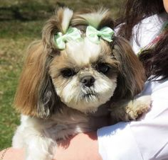 Tracheal collapse is a disease in small breed dogs such as the Shih Tzu which has been suspected to have…