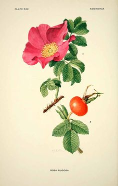 162857 Rosa rugosa Thunb. / Addisonia, vol. 16: t. 522 (1931) [M.E. Eaton]