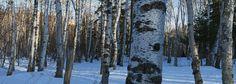 Split Rock Through Birch Woods #MSPDestination