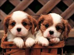 King Charles Cavalier puppies