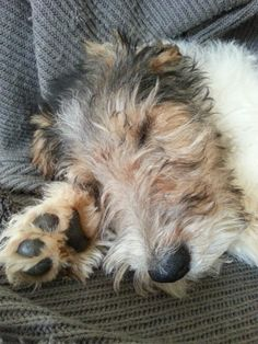 Wire Fox Terrier - Cute