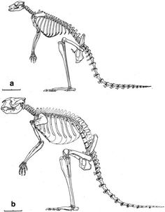 Sthenurus skeletal comparison to Macropus
