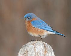 Beautiful shot of a bluebird, by Steve Creek