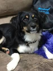 Candy Kisses is an adoptable Australian Shepherd Dog in Malakoff, TX. Candy is a cute little thing who was found stray, and her owners were never located. The good people who took her in searched for...