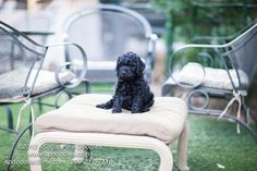 #SugarPineDoodles #Labradoodlepuppy #Puppies #Australianlabradoodle Available and Ready for Adoption | Sugar Pine Doodles