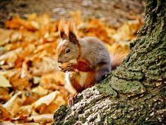 squirrel_nature_nut_fall_animal_wild_red_autumn