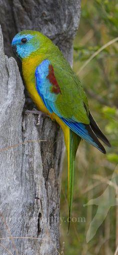 Budgies Parrot, Parakeet, Parrots, Exotic Birds, Colorful Birds, Little Birds, Love Birds, Beautiful Butterflies, Beautiful Birds