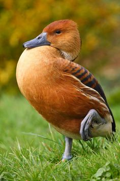The Fulvous Whistling Duck (Dendrocygna bicolor) photo by Bob Hall via ferrebeekeeper:   'Fulvous is a color which is very prevalent in the natural world.  It is a dull mixture of yellow and brown with hints of red.' (From the Latin 'fulvus') #Fulvous_Whistling_Duck #Bob_Hall #ferrebeekeeper