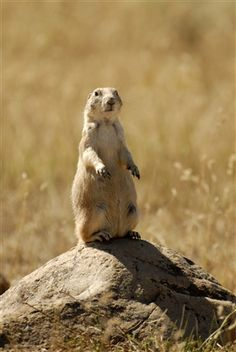 "Prairie dogs! You'll see prairie dog ""towns"" and hear them give a shrill ""bark"" to warn others of danger."