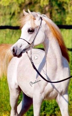 Most Beautiful Horses, All The Pretty Horses, Cute Horses, Horse Love, Arabian Stallions, Arabian Horses, Cowboy Horse, Horse Pictures, Equine Photography