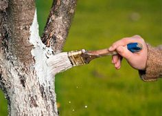Лечение коры плодовых деревьев от повреждений и болезней