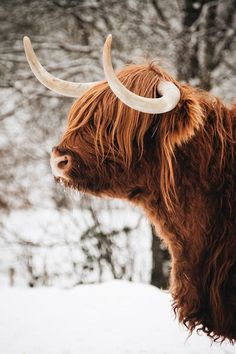 Scottish Nature Notes - Our work - The RSPB Community - Highland cow in snow - Cute Baby Animals, Farm Animals, Animals And Pets, Animals In Snow, Animals With Horns, Baby Pandas, Giant Pandas, Highland Cow Art, Highland Cattle