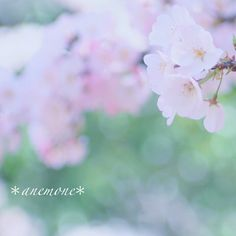 #桜#Cherry Blossoms #sakura #さくら #flower