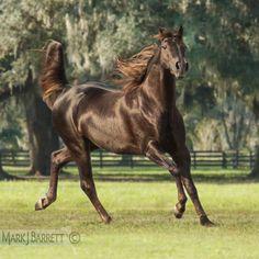 Brown horse :: Missouri Fox Trotter Stallion