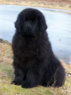 Vercordias Kyandro -Newfoundland - Tap the pin for the most adorable pawtastic fur baby apparel! You'll love the dog clothes and cat clothes! <3