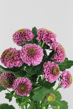 #Chrysanthemum #Santini #Doria; Available at www.barendsen.nl