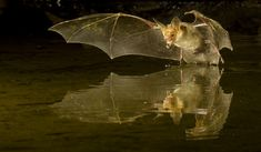 Photographing bats with a PhotoTrap and Bogen supports in southern Arizona