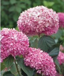 Hydrangea arborescens Bella Anna®
