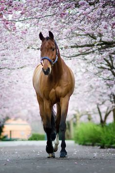 Pretty little horse on a stroll under the pink flower trees.  (92) Kunddahl Graphic & Photography - Photos