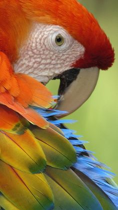 Colorful feathered Macaw Parrot