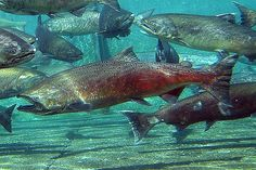 Migrating Salmon for inside letters or inside below water line.