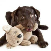 Get the Dog Trainer's take on the canine thief. Learn what to do when your dog or puppy takes your things and how to stop the behavior.