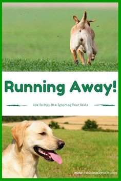 How to stop your dog running away! If your Labrador is ignoring you on walks, then this article will help you out.