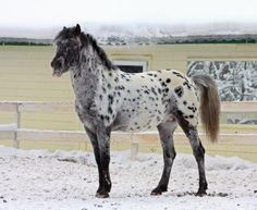 LEOPARD ALTAI Horse - This is the rarest color of the breed. Average height 13.2 – 13.3 hands Perform well under adverse conditions Surefooted and tough Hardy and undemanding animals Physique Large, coarse head with small eyes Short, fleshy neck and long, dipped back Legs are short and well-set Feet and strong and sound.
