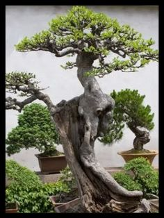 The beautiful bonsai tree could be quite small but you'd never know it...