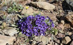 Karoo violets by Marie Viljoen Identify Plant, Biomes, Holiday Travel, South Africa, Beautiful Flowers, Succulents, Plants, Succulent Plants, Plant