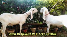 Bakra Eid Mubarak To All Muslim | Advance Bakra Eid Gift Eid Mubarak Gift, Eid Gift, Muslim, Gifts, Animals, Presents, Animales, Animaux, Animal
