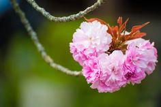 Lovely Sakura - Yae-Sakura at Yoshino mountain, Nara, Japan  I didn't notice about its shape until my friend talked about it. And yes, it looks like heart.