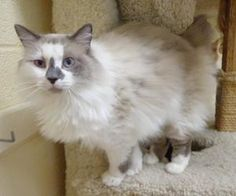 Lorenzo is an adoptable Ragdoll Cat in Gainesville, TX. Lorenzo is a beautiful 2 year old ragdoll longhair mix.� He was brought in because his owner had�fallen ill and was no longer able to care for h...