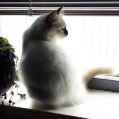 My Beauty Kaipo. Ragdoll kitten. Chocolatepoint