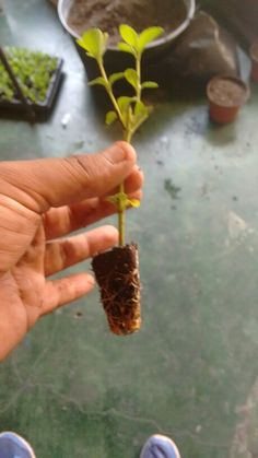 Trasplantando steviakaahee®