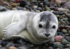 $10 will help pay for one week of our toll free stranding hotline - Central PugetSound Marine Mammal Stranding Network