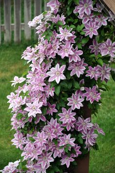 Clematis vine.  I would like this to over the whole yard lamp post or maybe the entire wrought Iron gateway to the courtyard.