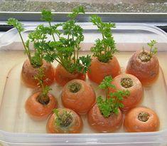 Dies ist eine tolle Möglichkeit, deine eigenen biologischen, nicht genveränderten Lebensmittel aus normalen Küchenabfällen nachwachsen zu lassen!