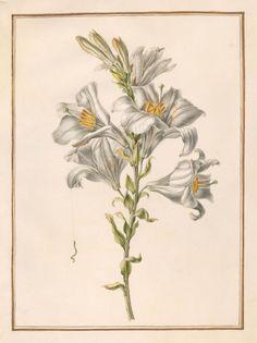 Circle of Madeleine Françoise Basseporte   Lily (Lilium elegans)   The Morgan Library & Museum
