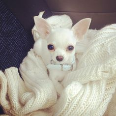 My Beautiful Chihuahua Monty * * Yeah, white iz pretty, but wut do I do after Labor Day ? #chihuahuadaily #teacupdogs #teacupchihuahua